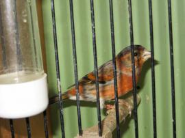 vogel recklinghausen kanarienvogel