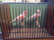 Kanarienvögel Kanarien Rotmosaik,