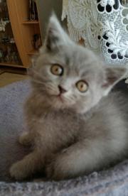Kartäuser Katzen Baby``