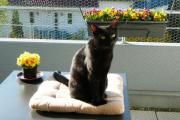 Katze schwarz zu
