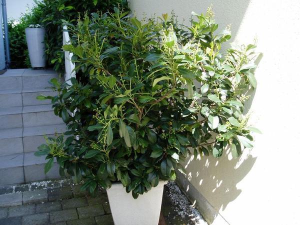 kirschlorbeer baum h he 100 cm in prien pflanzen kaufen und verkaufen ber private kleinanzeigen. Black Bedroom Furniture Sets. Home Design Ideas