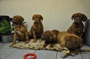 Kraftvolle Bordeaux Doggen