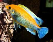 Labidochromis-Smeraldo-Seifert