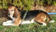 Labor-Beagle FLORI