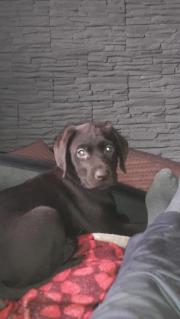 Labrador sucht neues zuhause Labrador, jung, weiblich, Farbe: braun, entwurmt, gechipt, für Hundeanfänger geeignet, ... 800,- D-73072Donzdorf Heute, 15:53 Uhr, Donzdorf - Labrador sucht neues zuhause Labrador, jung, weiblich, Farbe: braun, entwurmt, gechipt, für Hundeanfänger geeignet