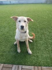 Labrador-weiße Schäferhündin