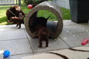 Labrador Welpen chocolate (