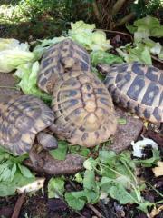 Landschildkröten gesucht!