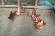 Legehühner aus Hobbyzucht (