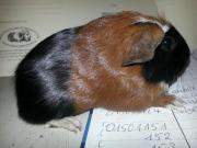 meerschweinchen eigenbau in m nchen tiermarkt tiere. Black Bedroom Furniture Sets. Home Design Ideas