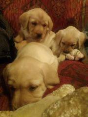 Liebevolle Labrador Familienzucht