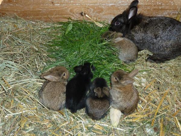 l wenkopf kaninchen in br el kleintiere kaufen und. Black Bedroom Furniture Sets. Home Design Ideas