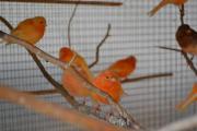 Männliche Kanarienvögel in