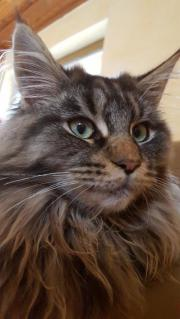 Maine Coon Kater -