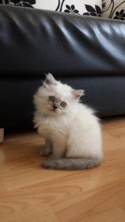 maine coon perser mix kitten in d sseldorf katzen kaufen und verkaufen ber private kleinanzeigen. Black Bedroom Furniture Sets. Home Design Ideas