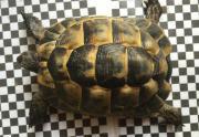 Maurische Landschildkröte 7
