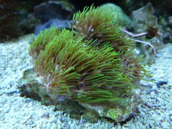 Fische aquaristik meerwasser garnelen riffhummer korallen for Salzwasser aquarium fische
