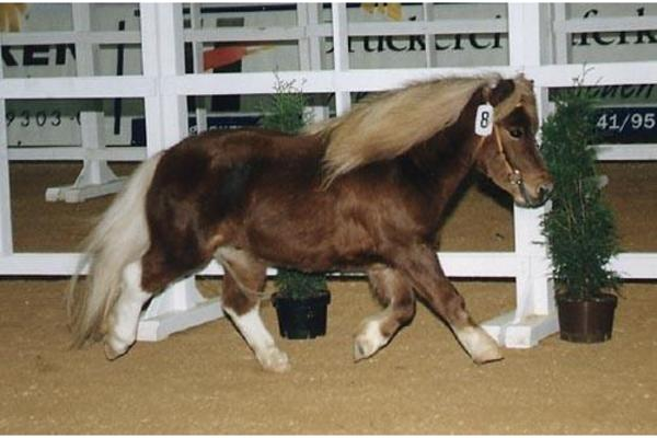 mini shetland pony deckhengst zu verkaufen in. Black Bedroom Furniture Sets. Home Design Ideas