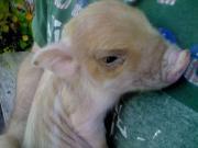 Minischwein Ferkel aus