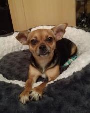 Mira, junge Chihuahua