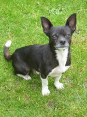 Nina, Chihuahua Mischling
