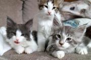 Norwegische Waldkatzen Babys