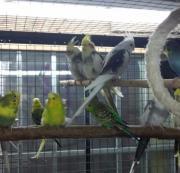 Nymphensittiche nestjung sowie