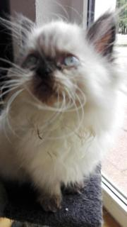 Perserkatze , Perser Katze ,