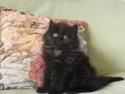 Persische Katzchen