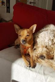 Pino, junger Chihuahua