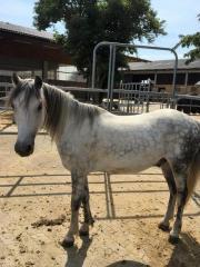 Pony,Schimmel Wallach,