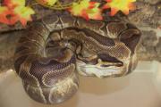 Python Regius 1.