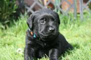 Reinrassige Labradorwelpen in