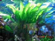 Riesige Amazonas Schwertpflanze