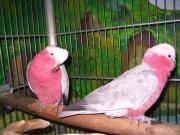 Rosa Kakadu Paar