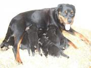 Rottweiler-Labrador Mix