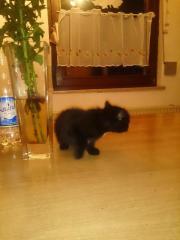 schwarze Babykatze