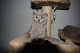 Scottish Fold/ Scottish » Katzen aus Sonneberg