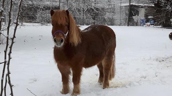 shetland pony zu verkaufen in weilheim pferde kaufen und. Black Bedroom Furniture Sets. Home Design Ideas
