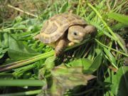 Steppenschildkröten aus Nachzucht