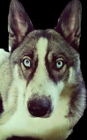 suchen husky als