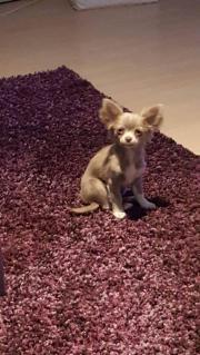 Süsse Chihuahua Hündin