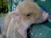 Süße Minischweine