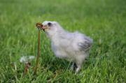 Super zutrauliche Zwergseidenhühner