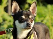 TIMO, Chihuahua - trauert