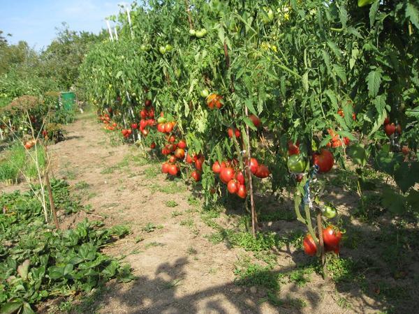 tomaten pflanzen in karlsruhe kaufen und verkaufen ber. Black Bedroom Furniture Sets. Home Design Ideas