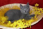 Vier Chartreux Kitten