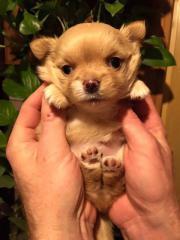 Welpen Chihuahua reinrassige