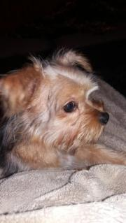 Yorkshiere Terrier Rüde
