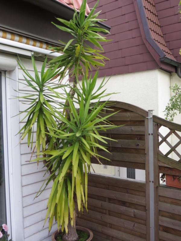 yucca palme 3m pflanzen aus kirchheim. Black Bedroom Furniture Sets. Home Design Ideas